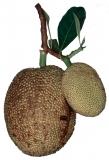 Jackfruit Lebensmittelaroma Konzentrat