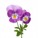 Violet Lebensmittelaroma Konzentrat